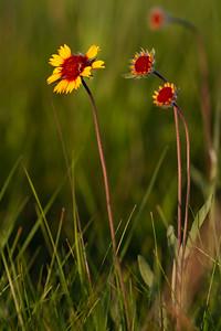 Gaillardia aristata Blanketflower Blanket Flower Felton Prairie Clay County MN  IMG_6285