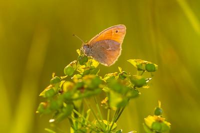 ringlet Common Ringlet butterfly Felton Prairie Clay County MN  IMG_6266