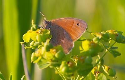 ringlet Common Ringlet butterfly Felton Prairie Clay County MN  IMG_6244