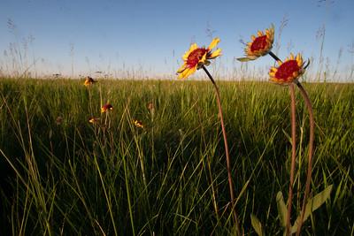 Gaillardia aristata Blanketflower Blanket Flower Felton Prairie Clay County MN  DSC03815