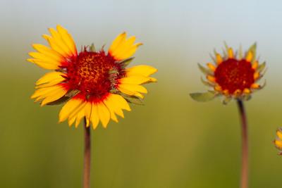 Gaillardia aristata Blanketflower Blanket Flower Felton Prairie Clay County MN  IMG_6274