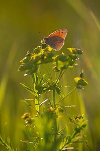 ringlet Common Ringlet butterfly Felton Prairie Clay County MN  IMG_6265
