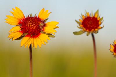 Gaillardia aristata Blanketflower Blanket Flower Felton Prairie Clay County MN  IMG_6278