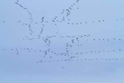 skeins of geese over North Ottawa Impoundment Grant County MN  IMG_3493