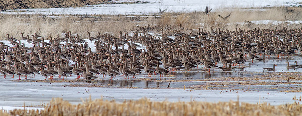 Greater White-fronted Goose flock flooded field CR79 0 8 miles east of Elbow Lake MN Grant County MN  IMG_3410
