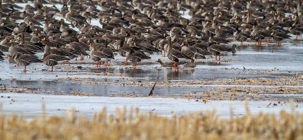 Greater White-fronted Goose flock flooded field CR79 0 8 miles east of Elbow Lake MN Grant County MN  IMG_3445