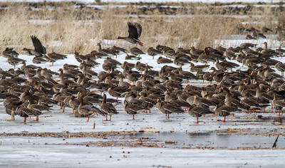 Greater White-fronted Goose flock flooded field CR79 0 8 miles east of Elbow Lake MN Grant County MN  IMG_3473