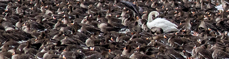 Greater White-fronted Goose flock flooded field CR79 0 8 miles east of Elbow Lake MN Grant County MN  IMG_3405