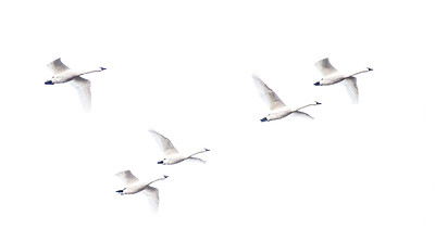 Tundra Swan flock of 870 in flooded field just east of Nashua MN Wilkin County MN  IMG_3644
