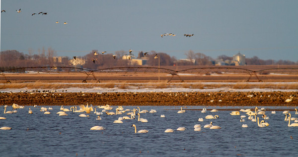 Tundra Swan flock of 870 in flooded field just east of Nashua MN Wilkin County MN  IMG_3673
