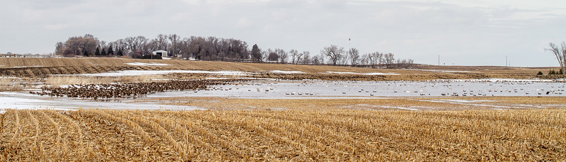 Greater White-fronted Goose flock flooded field CR79 0 8 miles east of Elbow Lake MN Grant County MN  IMG_3416