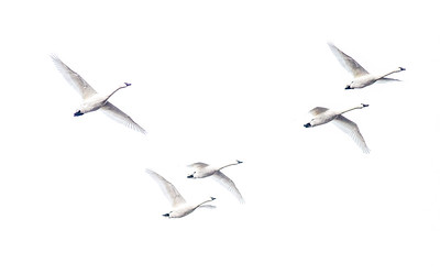 Tundra Swan flock of 870 in flooded field just east of Nashua MN Wilkin County MN  IMG_3643