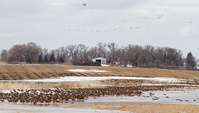 Greater White-fronted Goose flock flooded field CR79 0 8 miles east of Elbow Lake MN Grant County MN  IMG_3420