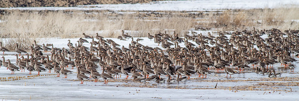 Greater White-fronted Goose flock flooded field CR79 0 8 miles east of Elbow Lake MN Grant County MN  IMG_3383
