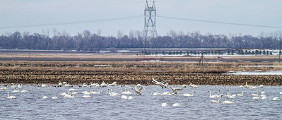 Tundra Swan flock of 870 in flooded field just east of Nashua MN Wilkin County MN  IMG_3584