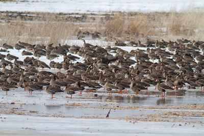 Greater White-fronted Goose flock flooded field CR79 0 8 miles east of Elbow Lake MN Grant County MN  IMG_3436