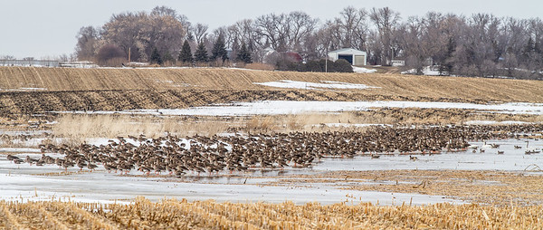 Greater White-fronted Goose flock flooded field CR79 0 8 miles east of Elbow Lake MN Grant County MN  IMG_3415
