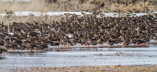 Greater White-fronted Goose flock flooded field CR79 0 8 miles east of Elbow Lake MN Grant County MN  IMG_3459