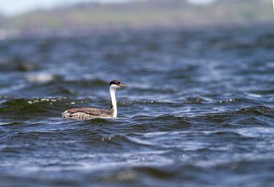 Western Grebe pair Lake Osakis Douglas County MN  IMG_0436