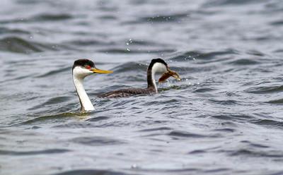 Western Grebe pair Lake Osakis Douglas County MN  IMG_0286