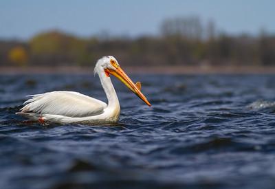 American White Pelican Lake Osakis Douglas County MN  IMG_0582