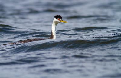 Western Grebe pair Lake Osakis Douglas County MN  IMG_0480