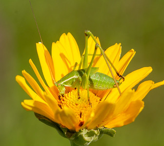 katydid in sunflower Lac Qui Parle WMA Lac Qui Parle County MN Minnesota River Valley trip July 23-24 2019 IMG_0286