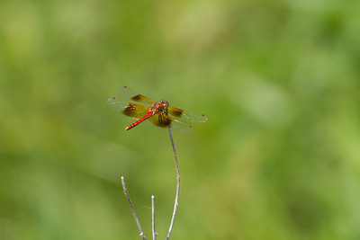 meadowhawk Band-winged Meadowhawk Lac Qui Parle WMA Lac Qui Parle County MN Minnesota River Valley trip July 23-24 2019 IMG_8703