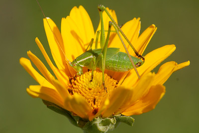 katydid in sunflower Lac Qui Parle WMA Lac Qui Parle County MN Minnesota River Valley trip July 23-24 2019 IMG_0282