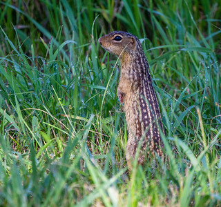 Thirteen-lined Ground Squirrel Minnesota River Valley trip July 23-24 2019 IMG_0142