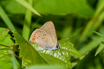hairstreak Coral Hairstreak Satyrium titus Swedes Forest SNA Yellow Medicine County MN Minnesota River Valley trip July 23-24 2019 IMG_8416
