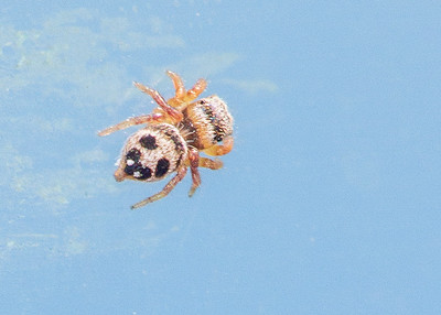 Habronattus decorus Jumping Spider jumper young female Swedes Forest SNA Yellow Medicine County MN Minnesota River Valley trip July 23-24 2019 IMG_8532