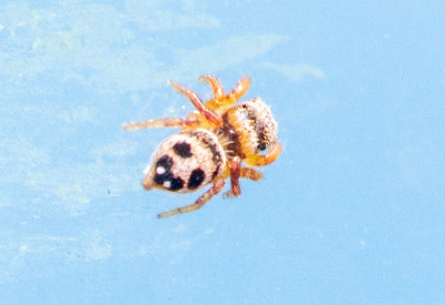 Habronattus decorus Jumping Spider jumper young female Swedes Forest SNA Yellow Medicine County MN Minnesota River Valley trip July 23-24 2019 IMG_8534