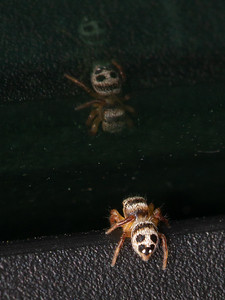Habronattus decorus Jumping Spider jumper young female Swedes Forest SNA Yellow Medicine County MN Minnesota River Valley trip July 23-24 2019 IMG_8499