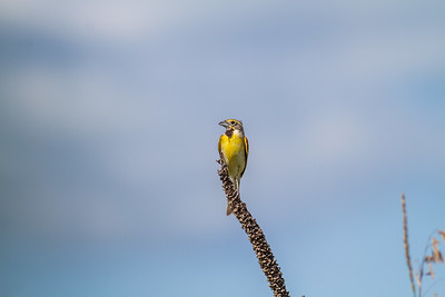 Dickcissel Swedes Forest SNA Yellow Medicine County MN Minnesota River Valley trip July 23-24 2019 IMG_8470