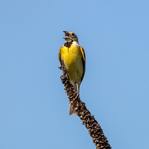 Dickcissel Swedes Forest SNA Yellow Medicine County MN Minnesota River Valley trip July 23-24 2019 IMG_8492
