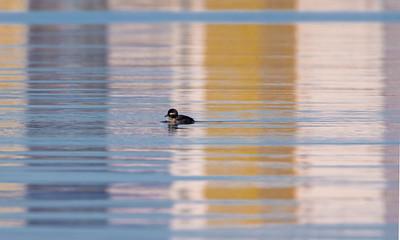 Bufflehead female Southworth Marsh harbor Park Point Duluth MN  IMGC6037