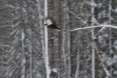 Pileated Woodpecker Skogstjarna Carlton County MN-2665