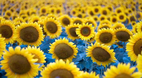 sunflowers near Moorhead MN IMG_1050
