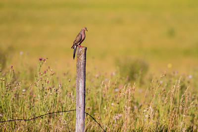 Mourning Dove fence post Clay County MN IMG_0773
