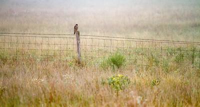 Merlin in the fog Felton Prairie Clay County MN IMG_1157