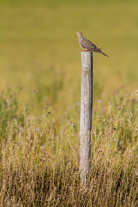 Mourning Dove fence post Clay County MN IMG_0758
