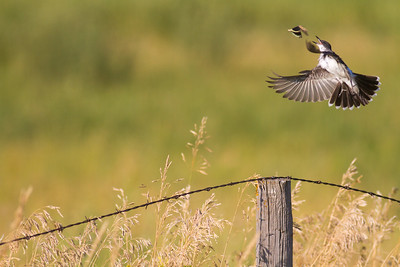 Eastern Kingbird fence Clay County MN IMG_0793
