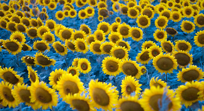 sunflowers near Moorhead MN IMG_1038