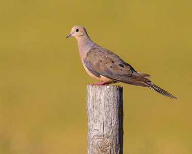 Mourning Dove fence post Clay County MN IMG_0755