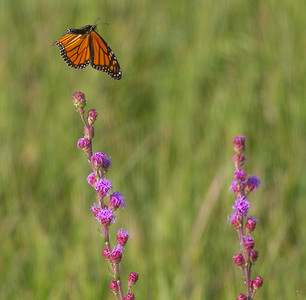 Monarch on Liatris Blazing Star IMG_0745