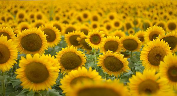 sunflowers near Moorhead MN IMG_1047