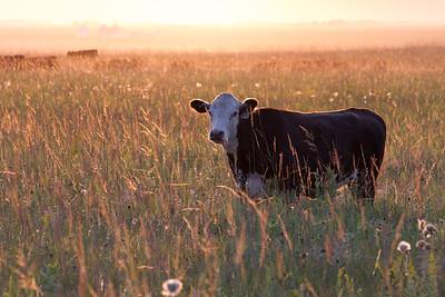 cow cattle Felton Prairie Clay County MN IMG_0995