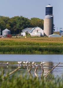 American White Pelican group and farm barn silo Otter Tail County MN IMG_0691