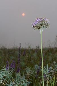 Allium stellatum Wild Onion Felton Prairie Clay County MN IMG_1104